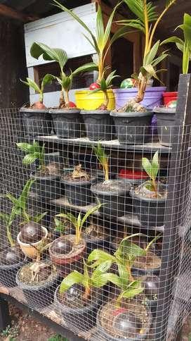 kelapa gading oren kuning coklat