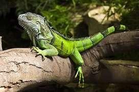 IGUANA GREEN Panjang 1 Meter