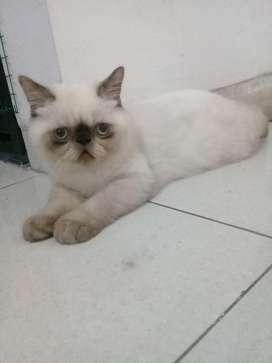 Kucing exotis shorthair