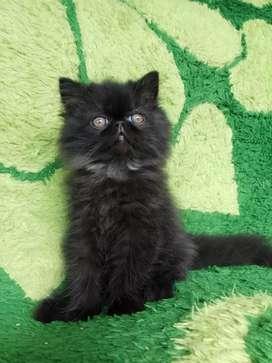 Kucing persia peaknose longhair jantan