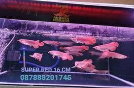 IKAN ARWANA SUPER RED SIZE 16-18CM