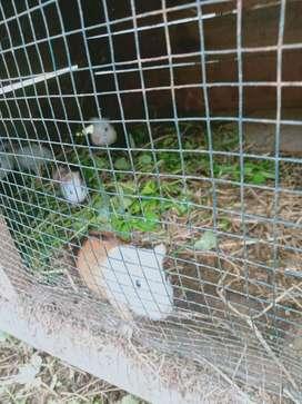 Marmut type American lokal ( Guinea pig)