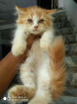 Blue eyes kittens available