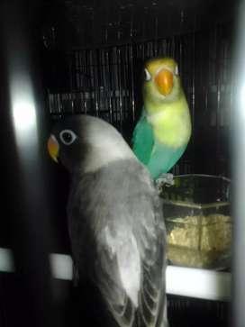 Love bird PB tourkis,dan Ewing gren blue