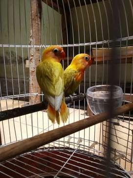 3 ekor Lovebird kondisi sehat