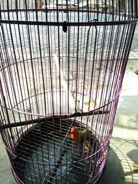 Love bird lovebird
