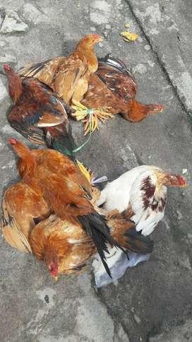 Ayam kapung asli bisa antar