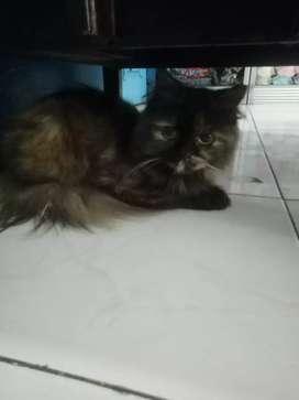 Kucing persia. Betina birahi