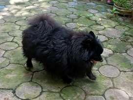 Anjing mini pom betina warna black