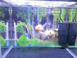 Mas koki oranda snow white / gold fish