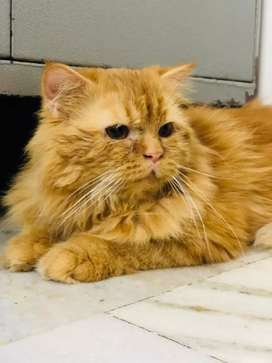 Persian cat 10 months male doll face