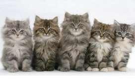 Mighty persian kittens.
