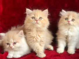 Persian cats kitten's Available at reasonable rate
