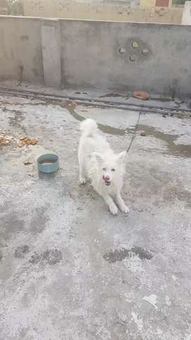 White russion pup 2 yrs old