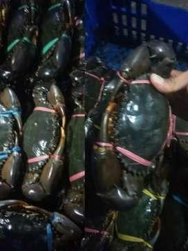tersedia kepiting bakau isi 4.3.2 telor/jantan
