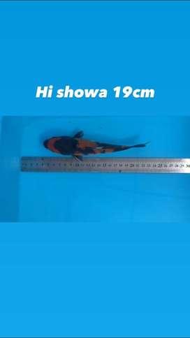 Koi Hi showa warna strong 19cm