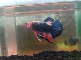 Ikan cupang Flaminggo