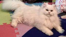 Persian cat for stud service