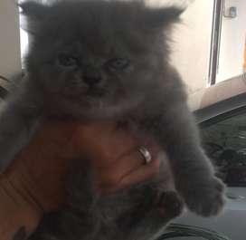 Jual kucing persia/ himalaya