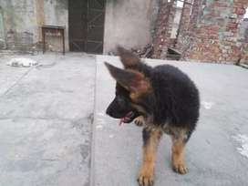 Gsd male puppy for sale