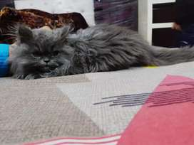 Pure persian cat of 5 months