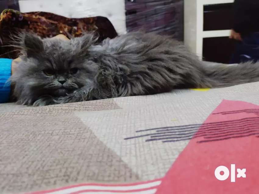 Pure persian cat of 5 months 0