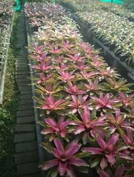 Sedia Bermacam-macam jenis tanaman Bromelia indah