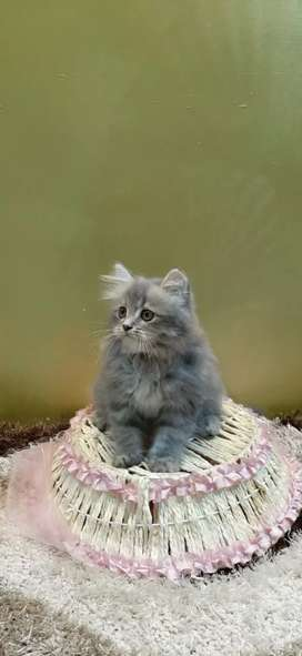 Cute and healthy Persian  Kittens are available.