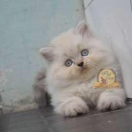 Kucing Persia Himalaya Kualitas Tinggi Jantan Kitten