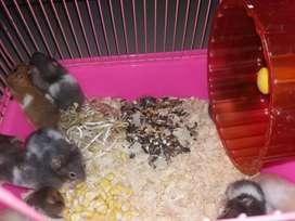 Ayo Ready Stock Hamster Aneka Warna Cantik Cantik Dijamin Jinak