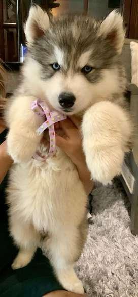 For Sale Siberian Husky puppies