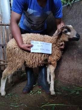 Kambing Domba Aqiqah gratis biaya potong & biaya kirim