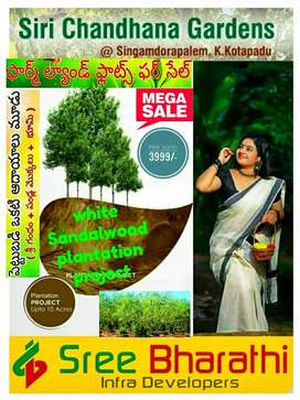 Small investment High Returns in white Sandalwood trees project,