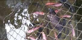 Ikan nila hitam/merah,gurame,patin, bawal