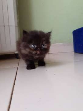 Persian kitten multicolored black and brown