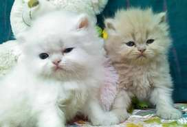 Top quality White persion kitten avable  all types of cats avable