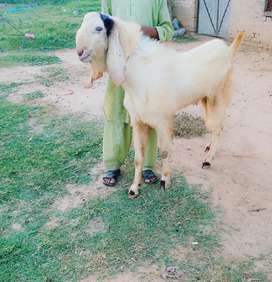 Breeder male goat for sale