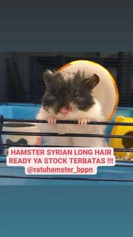 Hamster longhair langka cantik