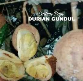 Bibit Durian Gundul langka jaminan keaslian jenis