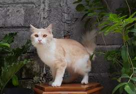 kucing persia medium jantan bicolor cream lucu
