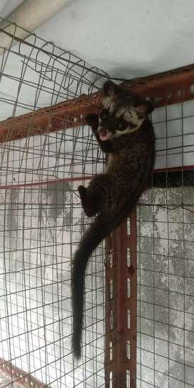 Di jual Baby Musang Pandan