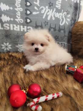 Pomeranian spitz puppies for Import