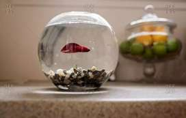 Betta fish with bowl
