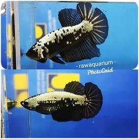 Ikan cupang black samurai sepasang aja
