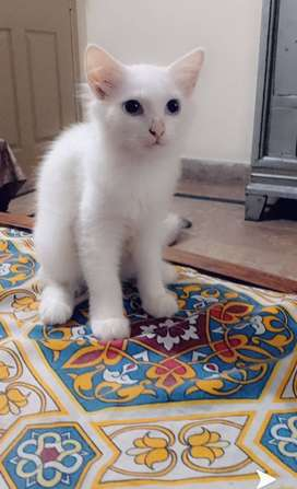 Seme Persian cats,Age 4 months.fully trained.colour white.