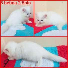 Lepas adopsi kucing persia