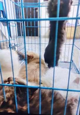Sell beauty cats