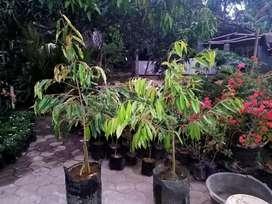 Tanaman Buah Durian Musangking