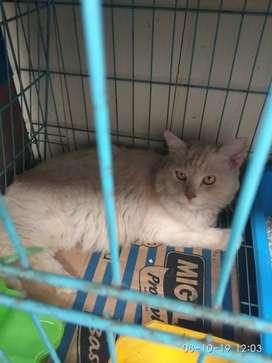open adopsi kucing percia jantan
