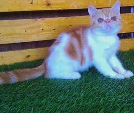 Kucing persia peaknose exotic jantan